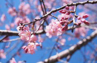 Cherry Blossom Tree Wallpaper 70 4608x3456 340x220