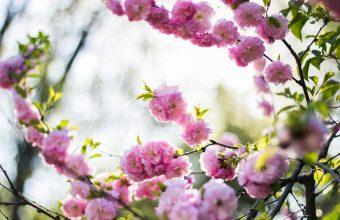 Cherry Blossom Tree Wallpaper 71 4104x2736 340x220