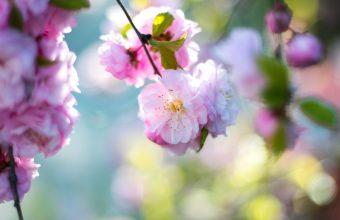Cherry Blossom Tree Wallpaper 72 4104x2736 340x220