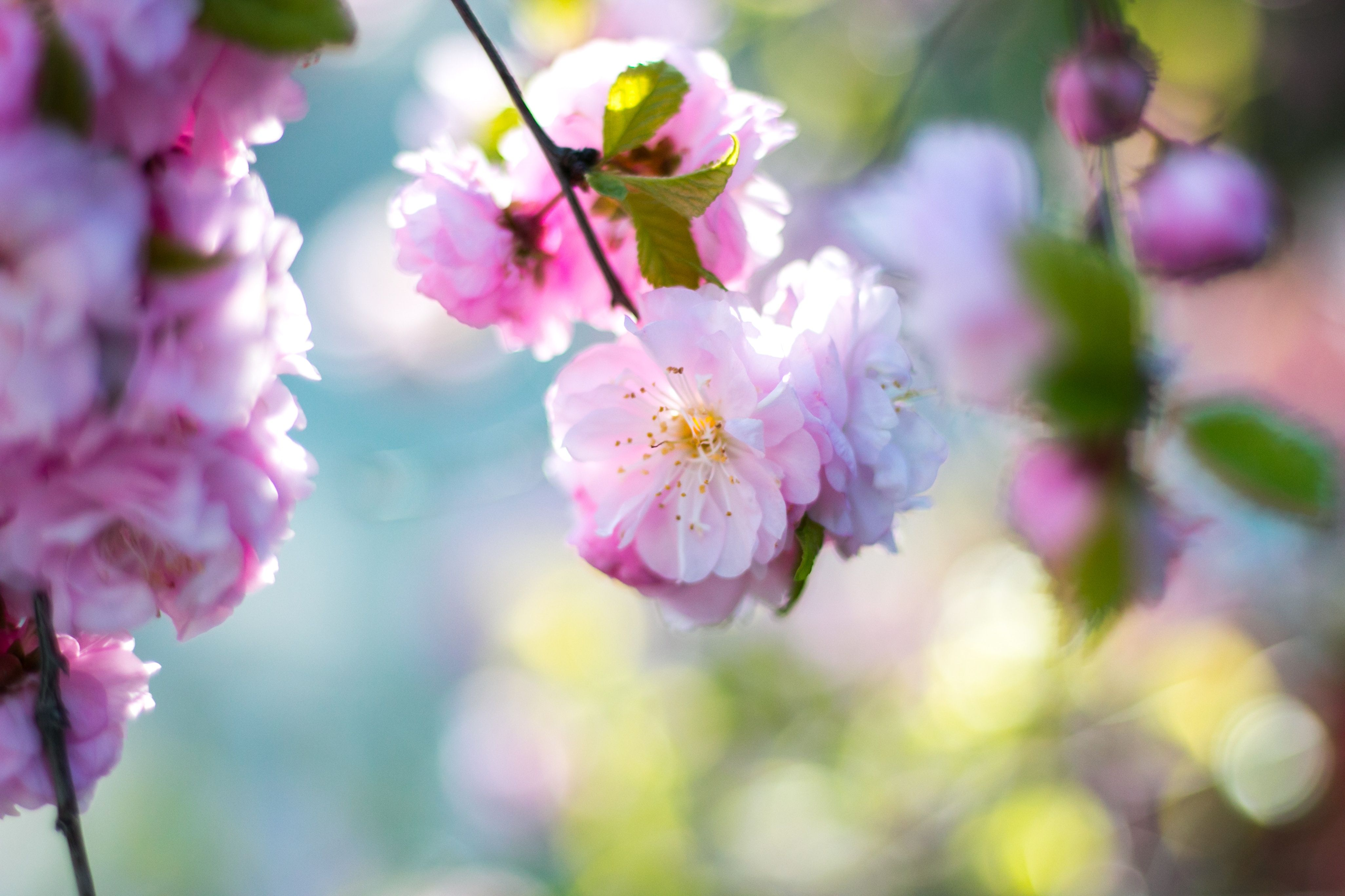 Cherry Blossom Tree Wallpaper 72 - [4104x2736]