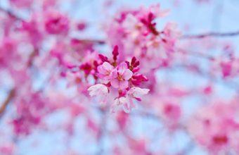 Cherry Blossom Tree Wallpaper 73 2304x1536 340x220