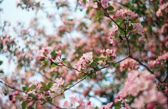 Cherry Blossom Tree Wallpaper 74 3088x2048 340x220