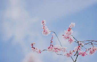Cherry Blossom Tree Wallpaper 76 4986x3324 340x220