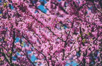 Cherry Blossom Tree Wallpaper 78 3888x2592 340x220