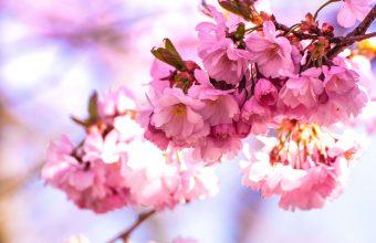 Cherry Blossom Tree Wallpaper 79 5184x3456 340x220