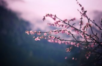 Cherry Blossom Tree Wallpaper 81 6000x4000 340x220