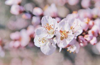 Cherry Blossom Tree Wallpaper 82 4022x2682 340x220