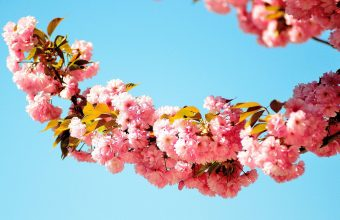 Cherry Blossom Tree Wallpaper 83 3776x2500 340x220