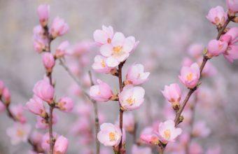 Cherry Blossom Tree Wallpaper 85 6000x4000 340x220