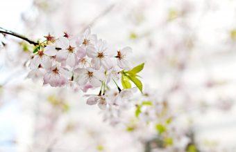 Cherry Blossom Tree Wallpaper 86 4288x2848 340x220