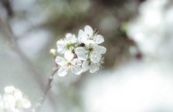 Cherry Blossom Tree Wallpaper 87 4608x3456 340x220