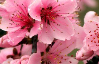 Apple Tree Bright Spring Pink Flowers 1080x2220 340x220