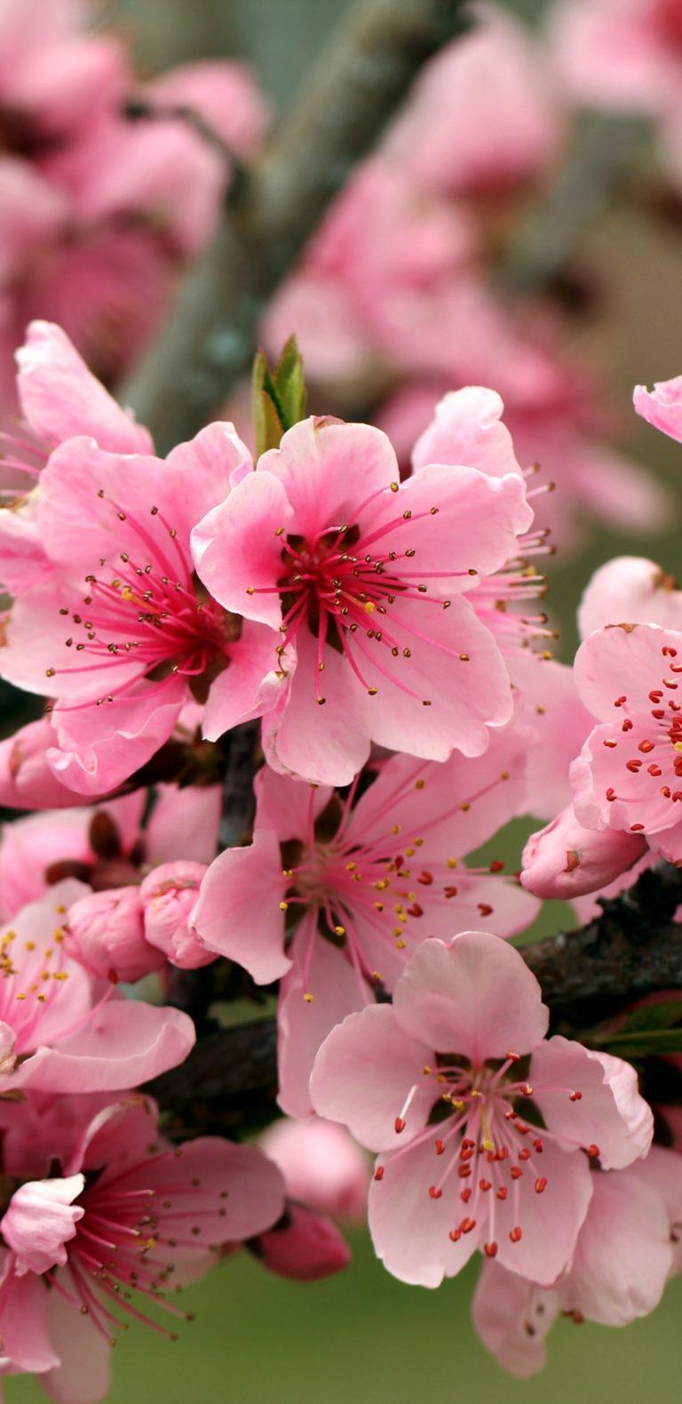Apple Tree Bright Spring Pink Flowers 1080x2220 768x1579