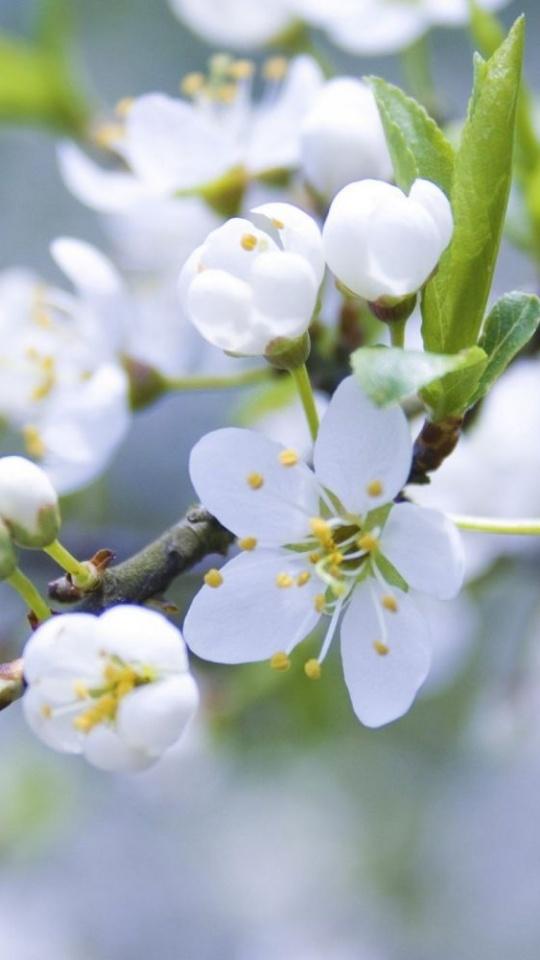 White Flowers Spring Blossoms Macro 540x960
