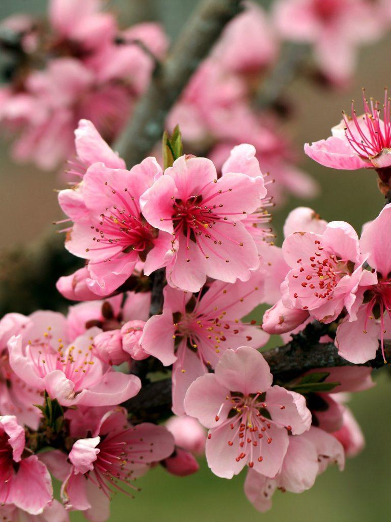 Apple Tree Bright Spring Pink Flower Wallpaper 1536x2048 768x1024
