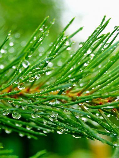Pine Branch Needles Drops Wallpaper 1536x2048 380x507