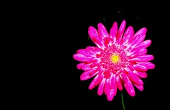 Hot Pink Flower Wallpaper 01 1024x768 340x220