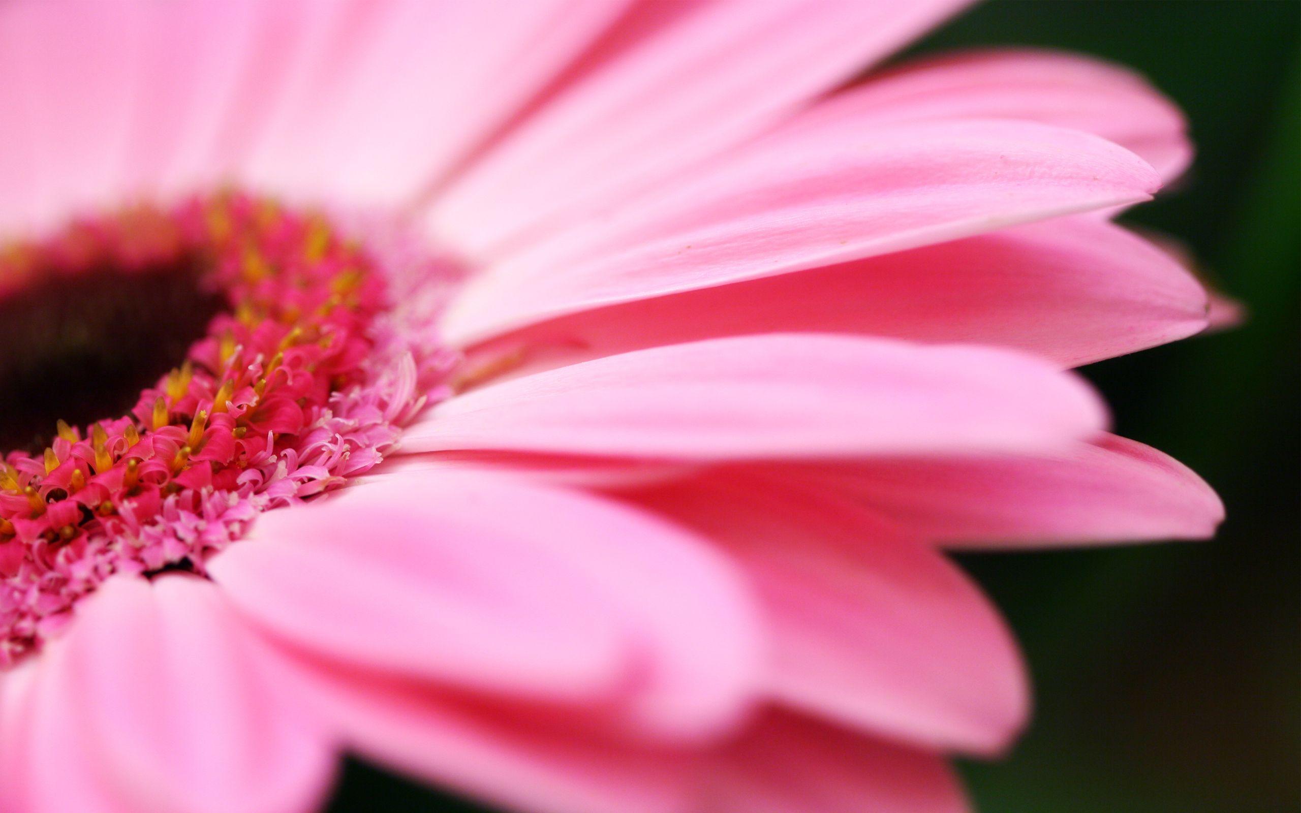 Hot pink flower wallpaper 03 2560x1600 mightylinksfo