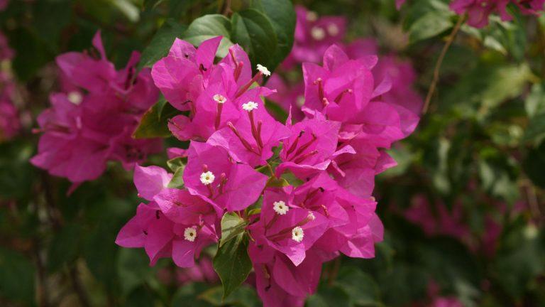 Hot Pink Flower Wallpaper 04 1920x1080 768x432