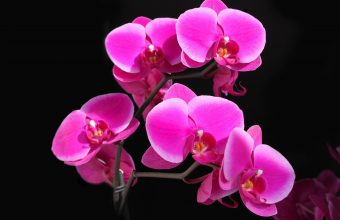 Hot Pink Flower Wallpaper 06 2560x1600 340x220