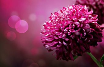 Hot Pink Flower Wallpaper 07 1920x1080 340x220