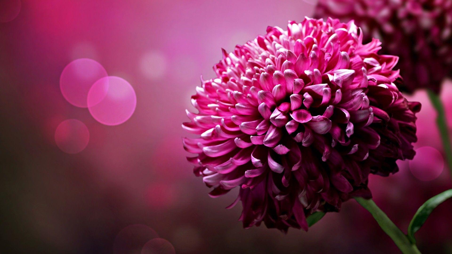 hot pink flower wallpaper 07 - [1920x1080]
