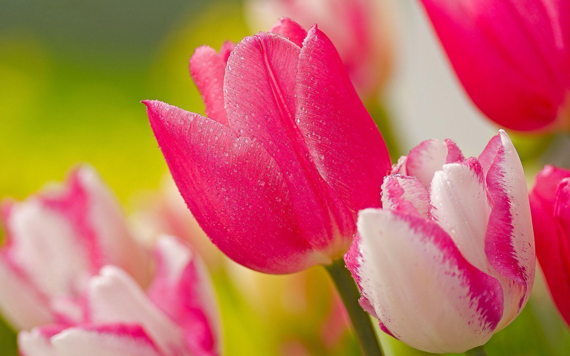Hot Pink Flower Wallpaper 08 1920x1200