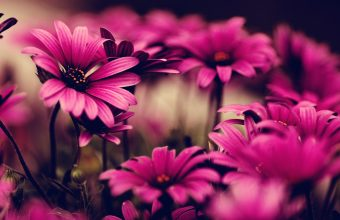 Hot Pink Flower Wallpapers