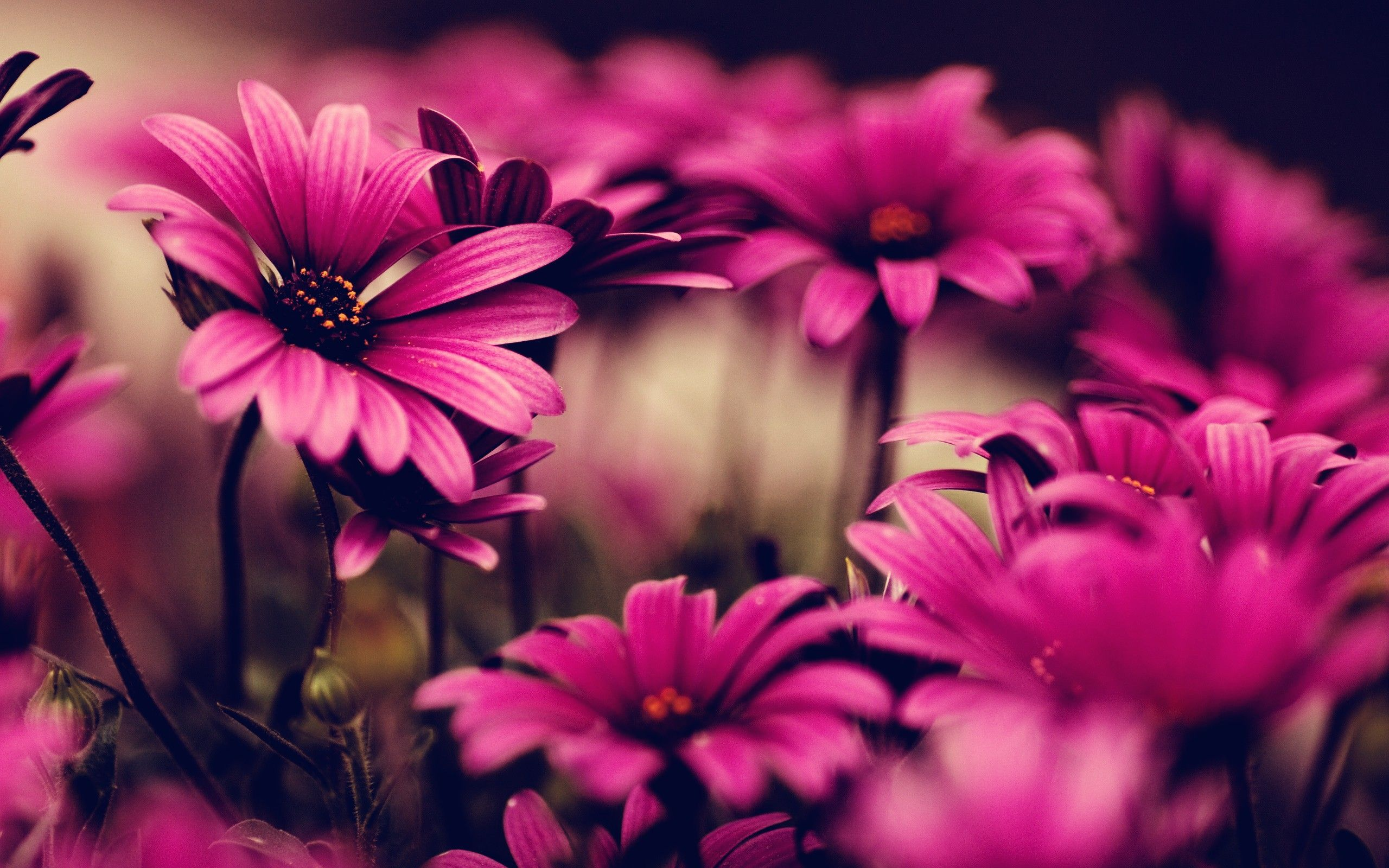 Hot pink flower wallpapers hd mightylinksfo