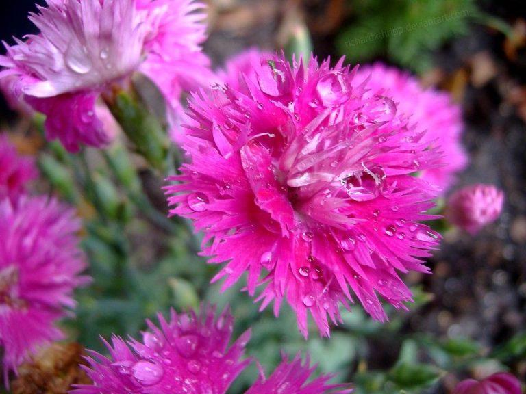 Hot Pink Flower Wallpaper 14 1024x768 768x576