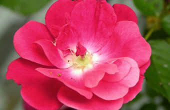 Hot Pink Flower Wallpaper 20 900x681 340x220
