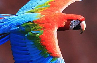 Red And Green Macaw HD Wallpaper 1125x2436 340x220