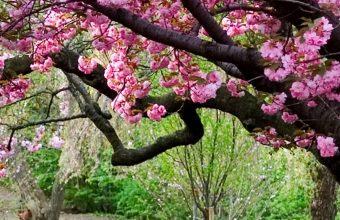 Sakura HD Wallpaper 1125x2436 340x220