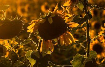 Sunrise Sunset Sunflower Field Flowers 1440x2880 340x220