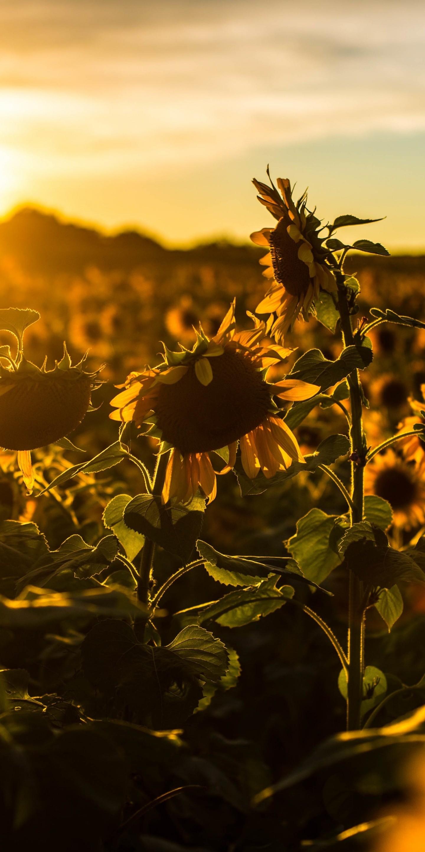 Sunrise Sunset Sunflower Field Flowers - [1440x2880]
