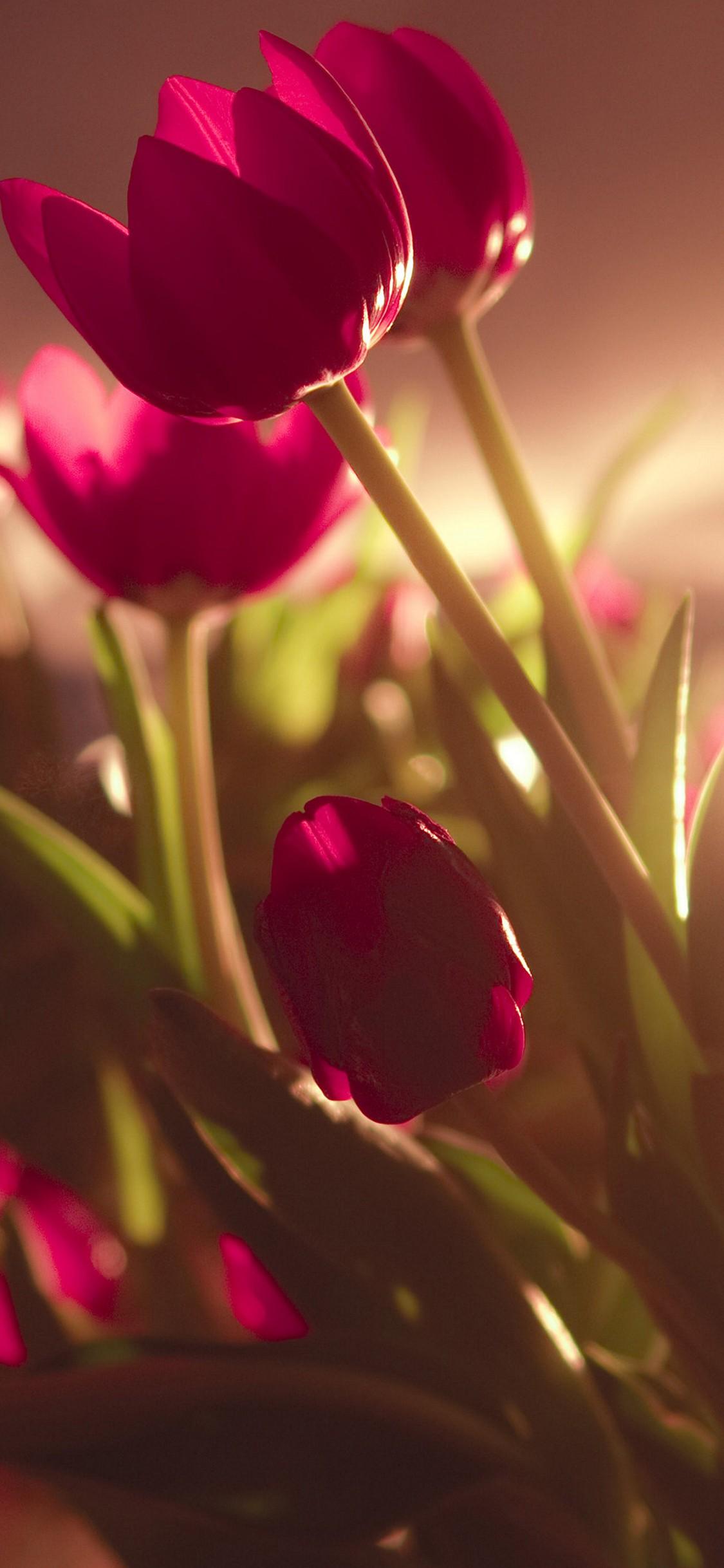 tulip hd wallpaper 1125x2436