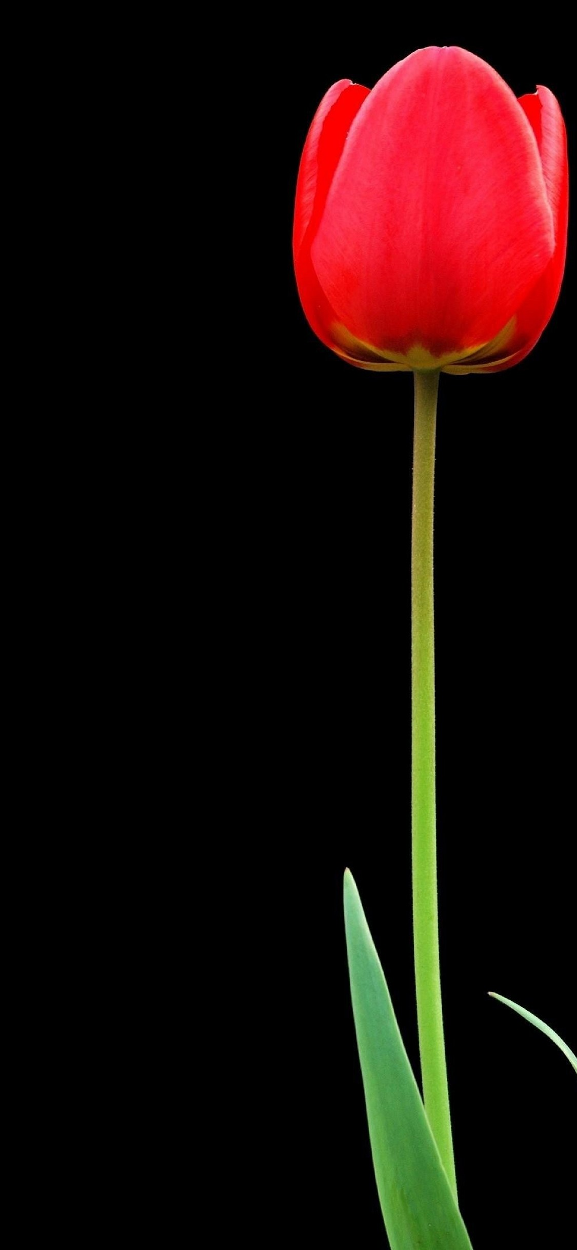 Tulip Red Flower Hd Wallpaper 1125x2436