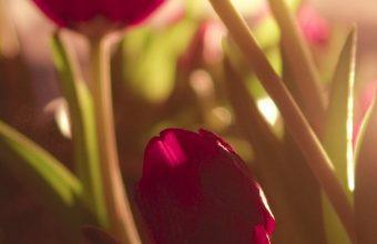 Tulip Wallpaper 1080x2280 340x220