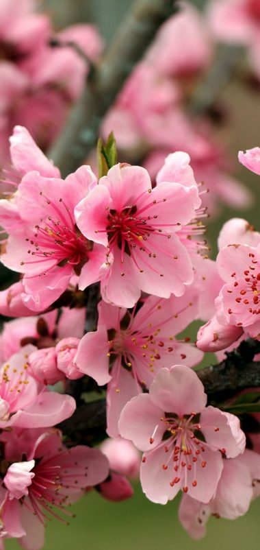 Apple Tree Bright Spring Pink Wallpaper 720x1520 380x802