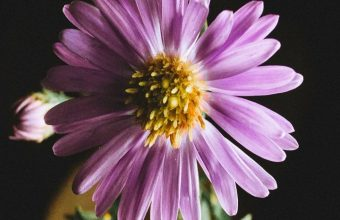 Aster Flower Petals Wallpaper 720x1520 340x220