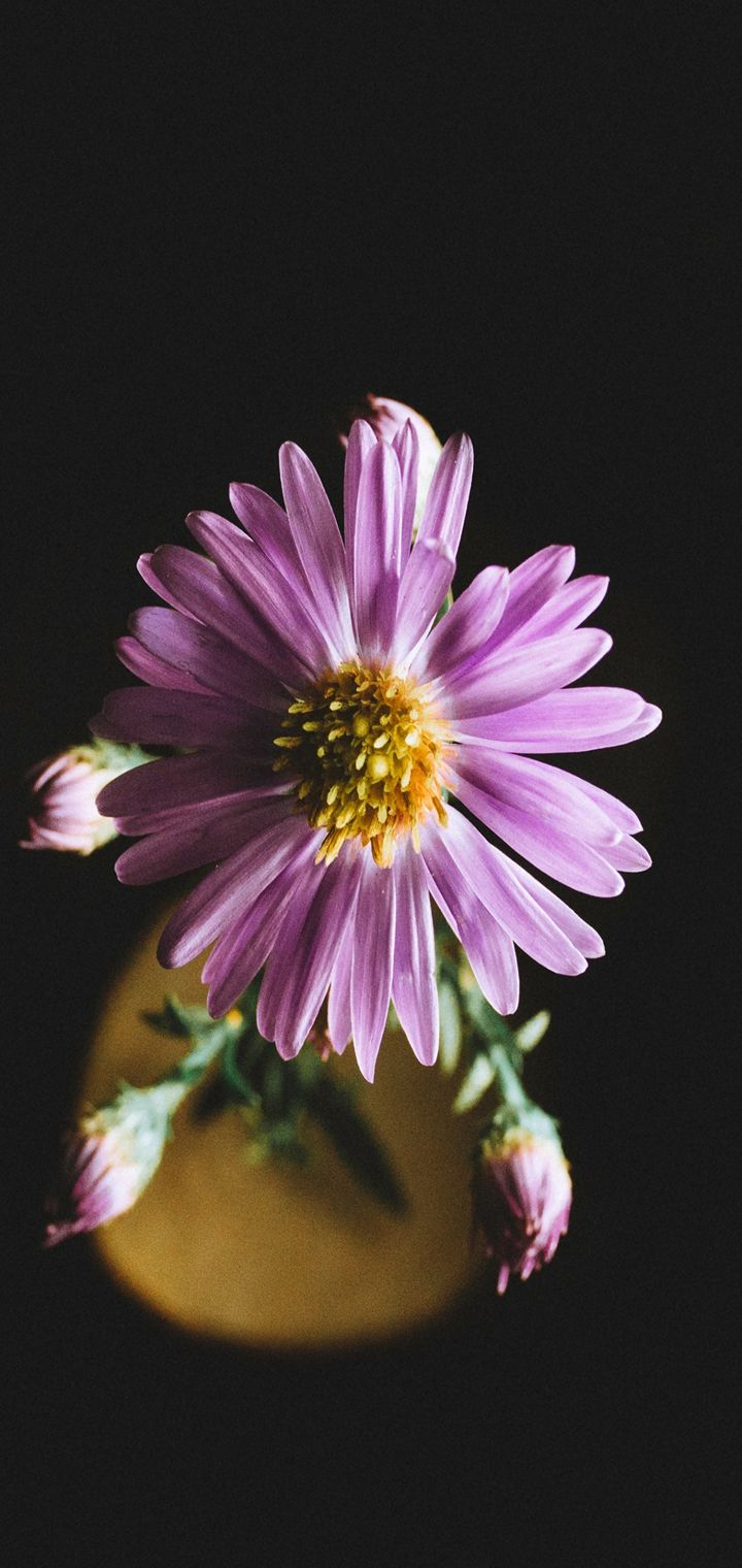 Aster Flower Petals Wallpaper 720x1520