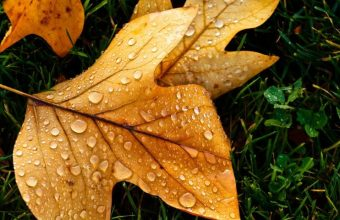 Autumn Leaf With Water Drops Wallpaper 800x480 340x220
