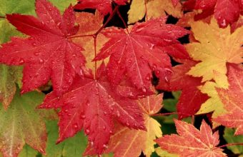 Autumn Maple Leaves Wallpaper 800x480 340x220