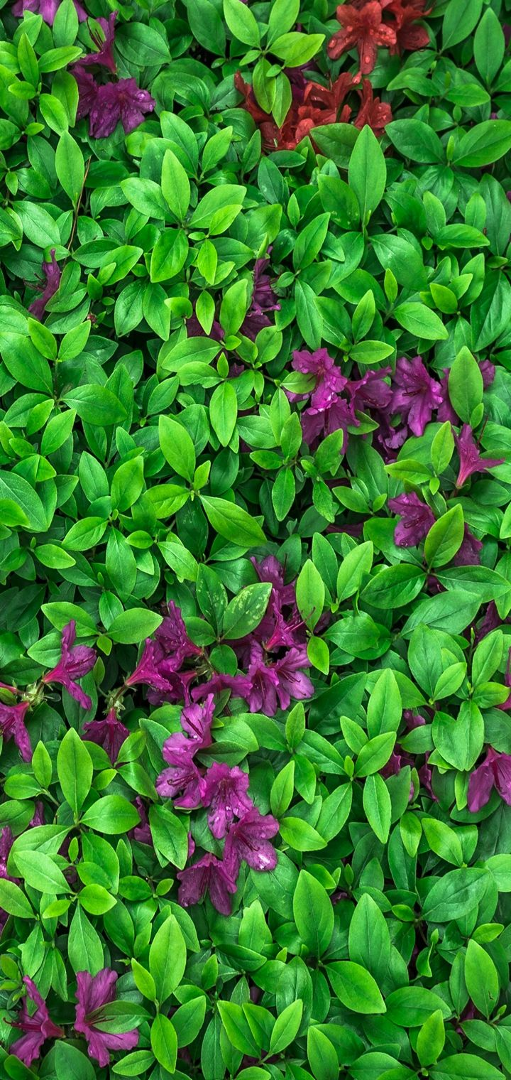 Azalea Leaves Flowers Plant Wallpaper 720x1520
