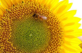 Bee On Sunflower Wallpaper 800x480 340x220