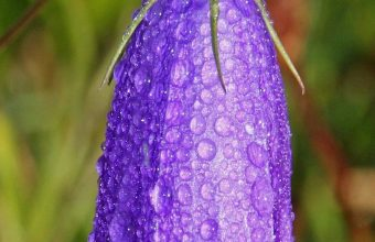Bellflower Campanula Flower Drops Wallpaper 720x1520 340x220