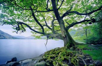 Big Beautiful Tree Next To A Lake Wallpaper 800x480 340x220