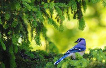 Blue Bird On Pine Tree Wallpaper 800x480 340x220