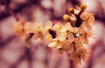 Cherry Blossoms Wallpaper 800x480 340x220