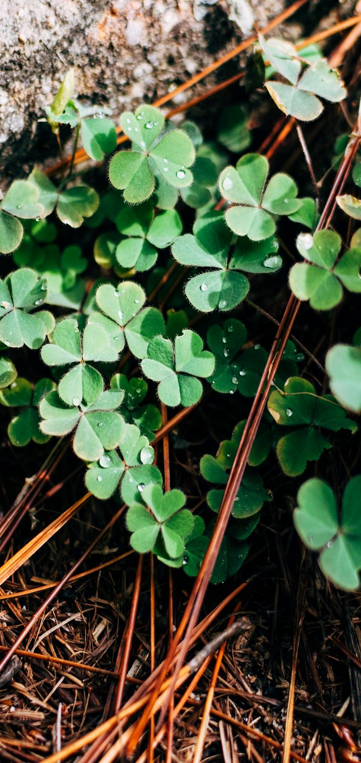 Clover Leaves Branches Wallpaper 720x1520